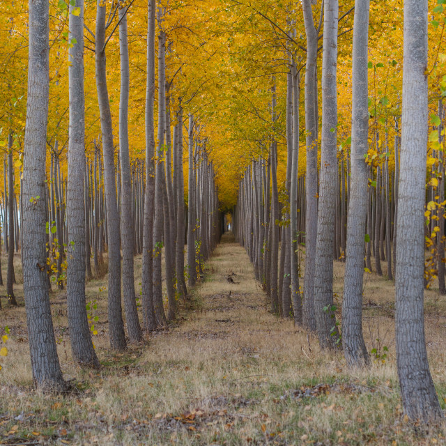 """Rows of autumn trees"" stock image"