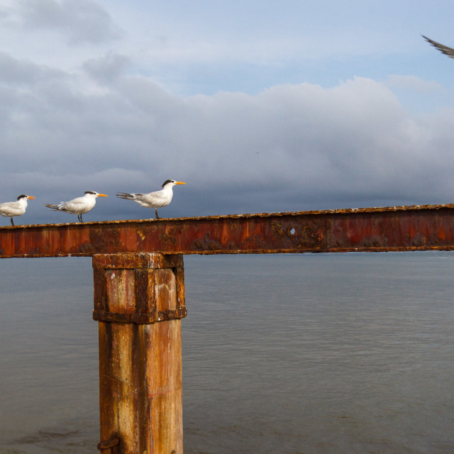 """Tern landing on an old pier"" stock image"