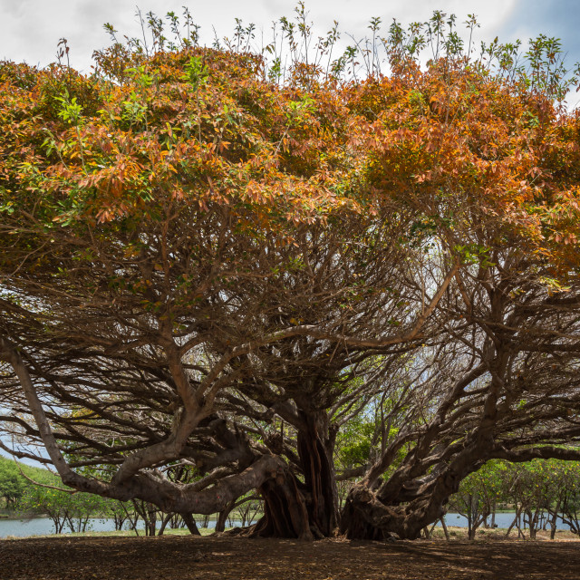 """Large tree in Hawaii"" stock image"