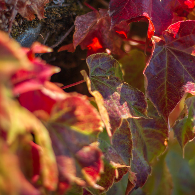 """Red ivy leaves"" stock image"