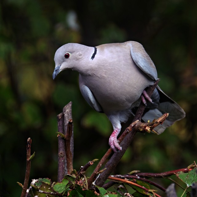 """Collared Dove On A Branch #1"" stock image"