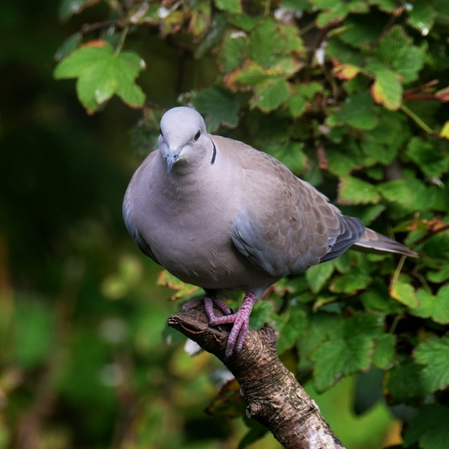 """Collared Dove On A Branch #2"" stock image"