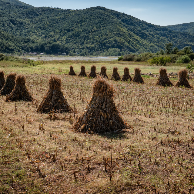 """Traditional corn stacks on a field in Albania"" stock image"
