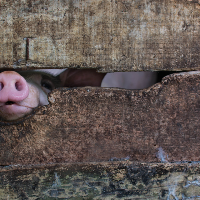 """Curious Pig"" stock image"