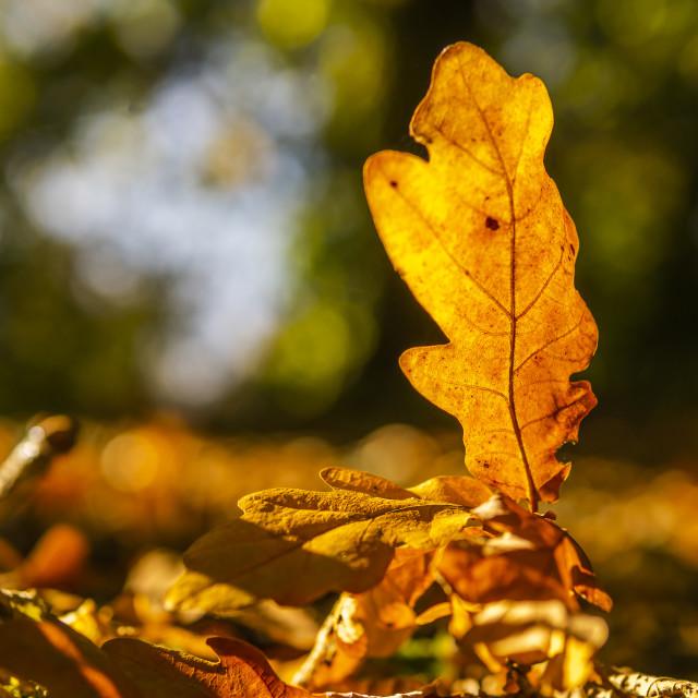 """Oak Leaf in the Sun"" stock image"