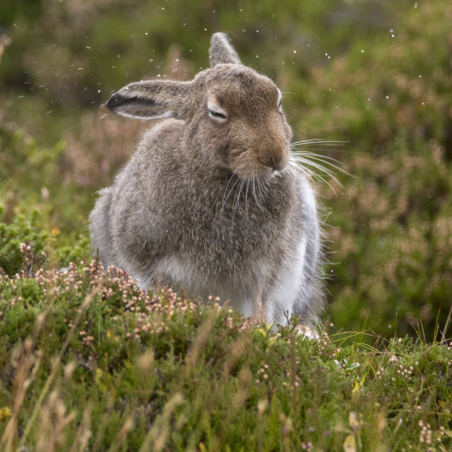 """Mountain Hare (Lepus timidus)"" stock image"