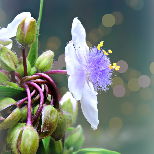 """Tradescantia (Spiderwort)"" stock image"