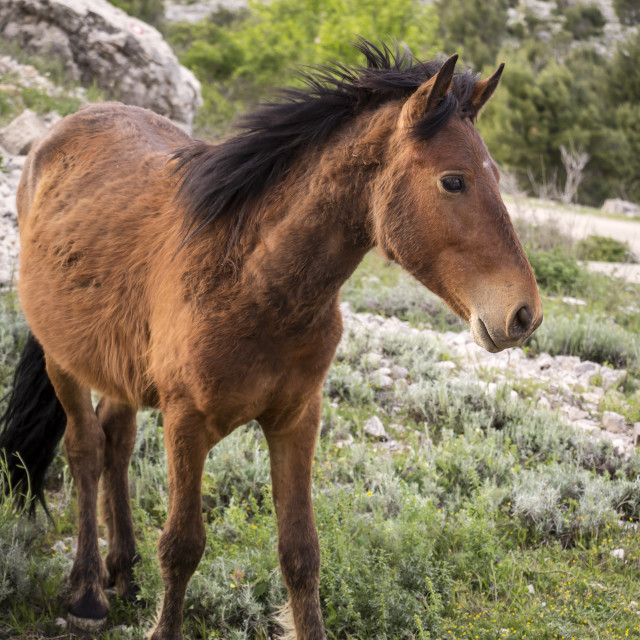"""""""Foal is standing on a field near the fortress, Dubrovnik"""" stock image"""