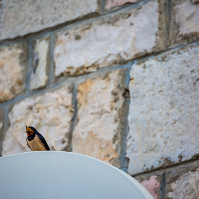 """Singing swallow sits on satellite dish, Montenegro"" stock image"
