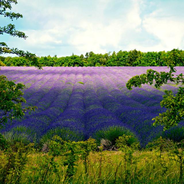 """""""Summertime Lavender"""" stock image"""