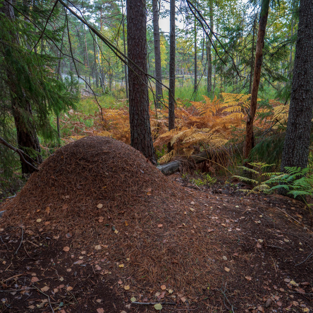 """""""Ant nest in forest"""" stock image"""