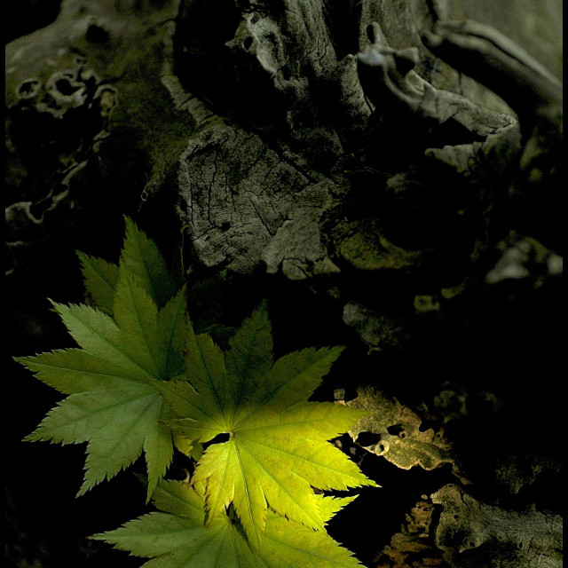 """""""Shine at leaves"""" stock image"""