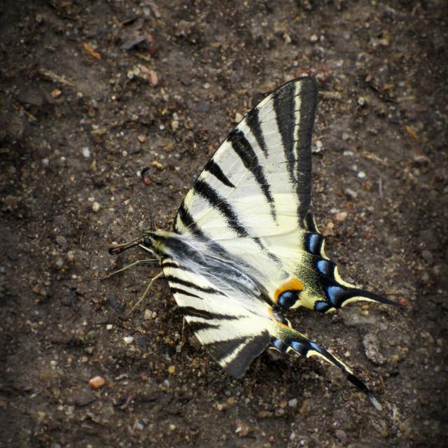 """""""Papilio I"""" stock image"""