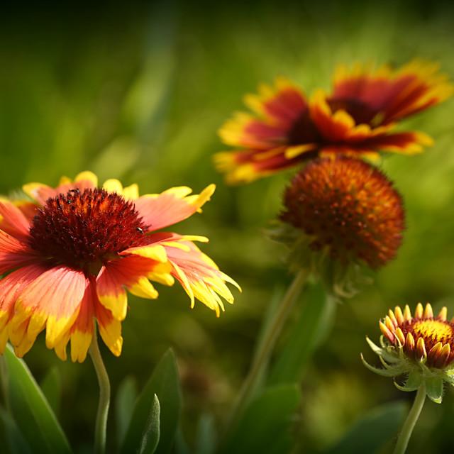 """""""Echinacea I"""" stock image"""