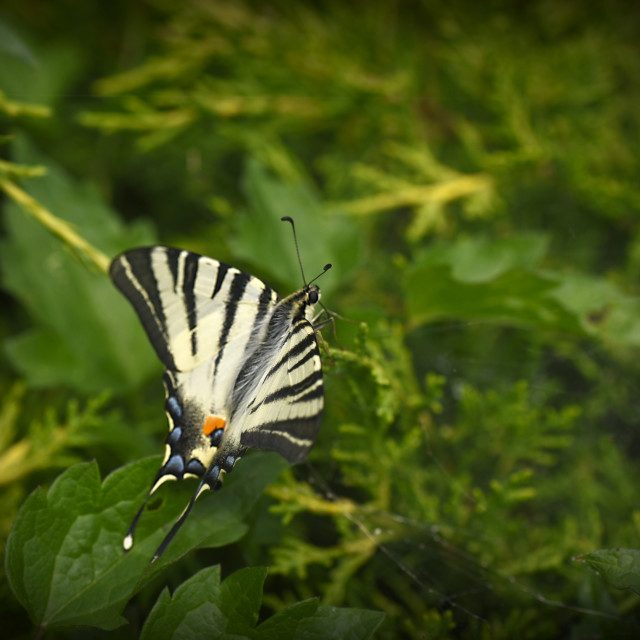 """Papilio II"" stock image"