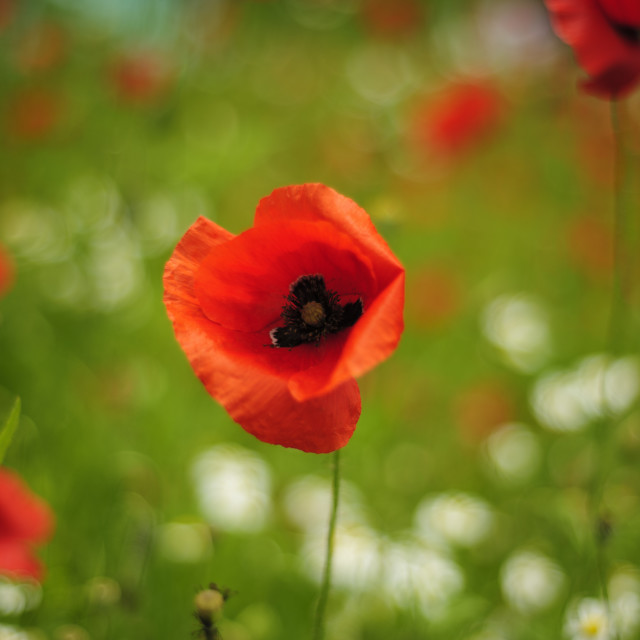 """""""Close up of a poppy"""" stock image"""