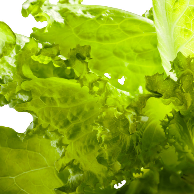 """""""Batavia Salad Leaves"""" stock image"""