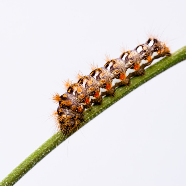 """""""Big colorful caterpillar with white and orange color perched on green stem"""" stock image"""