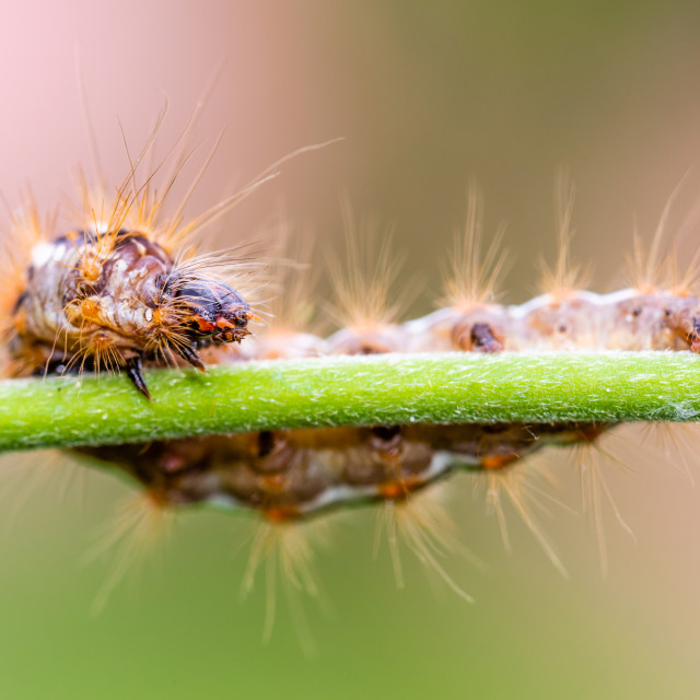 """""""Big colorful caterpillar on green stem of plant with several leafs in background"""" stock image"""
