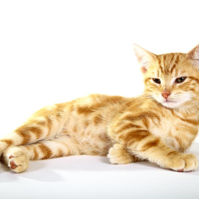 """""""Ginger mackerel tabby kitten on a white background"""" stock image"""