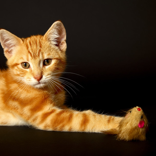 """""""Ginger mackerel tabby12 week old kitten isolated on a black background playing with a toy mouse"""" stock image"""
