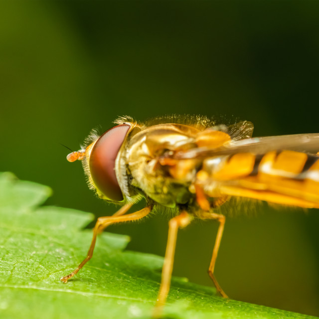 """""""Mimetic Fly On A Leaf Macro"""" stock image"""