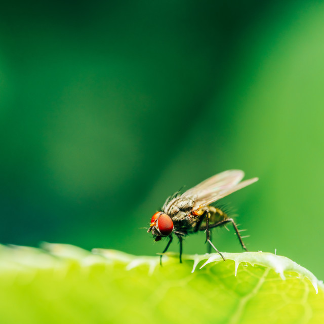 """Housefly On A Leaf In Garden"" stock image"