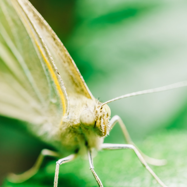"""""""White Butterfly Close Up Macro In Garden"""" stock image"""