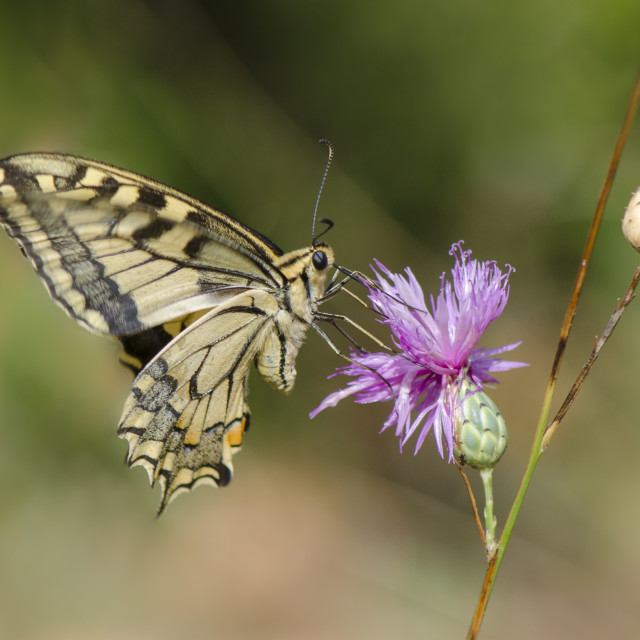 """A common yellow swallowtail, Papilio machaon, sipping nectar, Andalusia, Spain."" stock image"