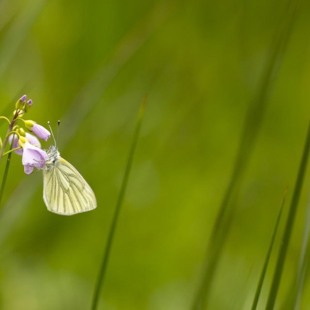 """""""Green-veined white (Pieris napi) butterfly resting and feeding nectar"""" stock image"""