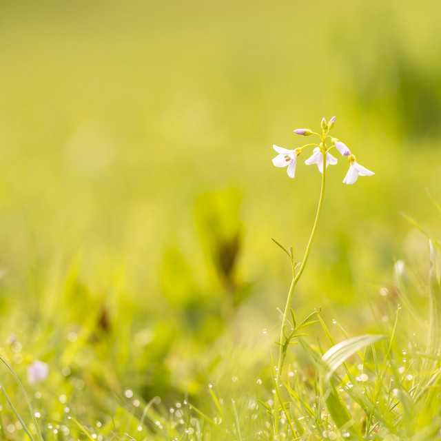 """""""Cuckooflower (cardamine pratensis) blooming in a wet and fresh meadow"""" stock image"""