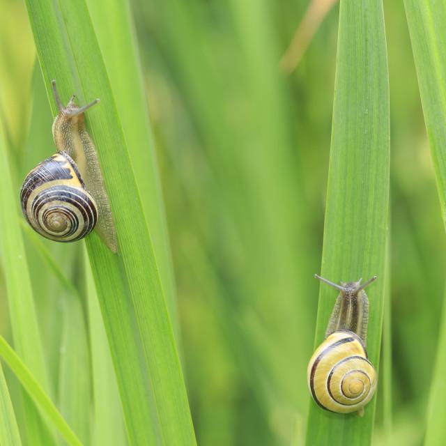 """Close up of grove snail, brown-lipped snail (Cepaea nemoralis) breeding,..."" stock image"