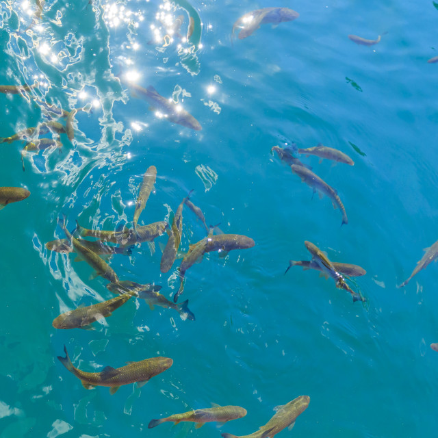 """""""Fish swimming in the clear blue waters of Plitvice lakes, Croatia"""" stock image"""