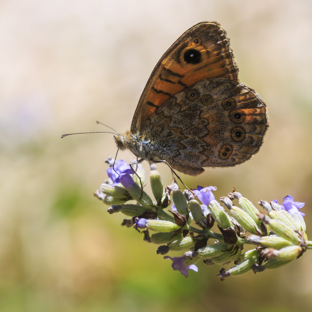 """""""The large wall brown butterfly, Lasiommata maera, pollinating on purple..."""" stock image"""