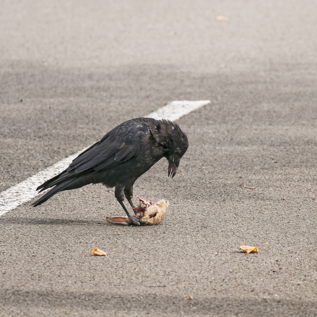 """Carrion crow with rabbit"" stock image"