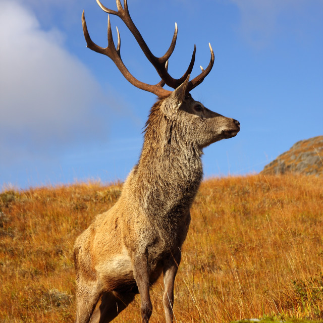 """""""Wild Red Deer Stag."""" stock image"""