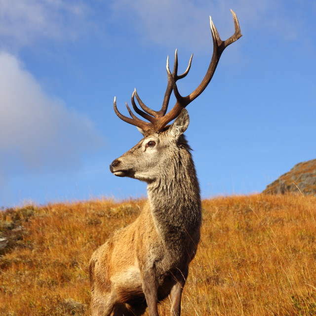 """Wild Red Deer Stag."" stock image"