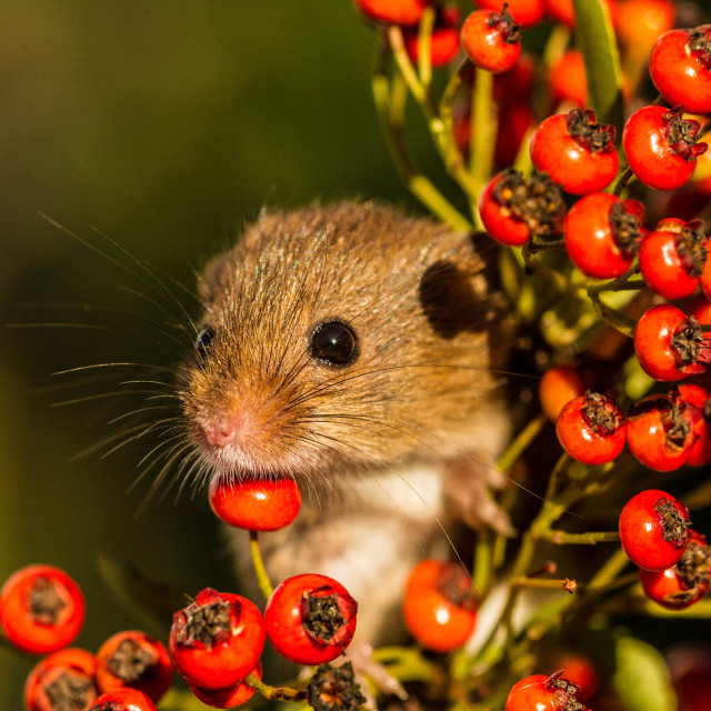 """""""Berry chin rest"""" stock image"""
