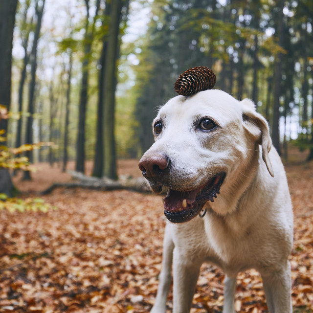 """""""Dog in autumn forest"""" stock image"""