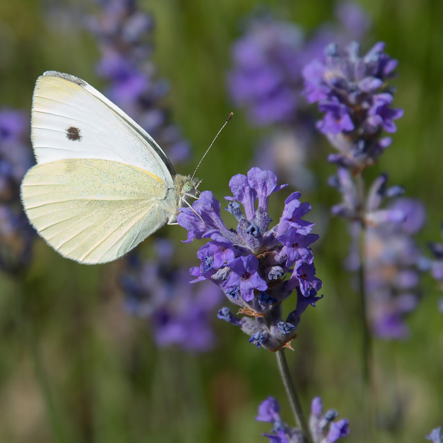 """Cabbage White"" stock image"