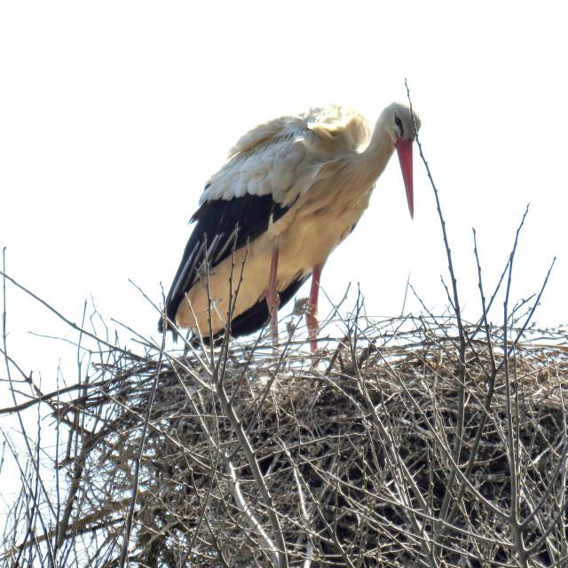 """""""Stork on nest"""" stock image"""