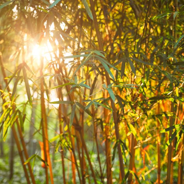 """Sun shining through bamboo leaves"" stock image"