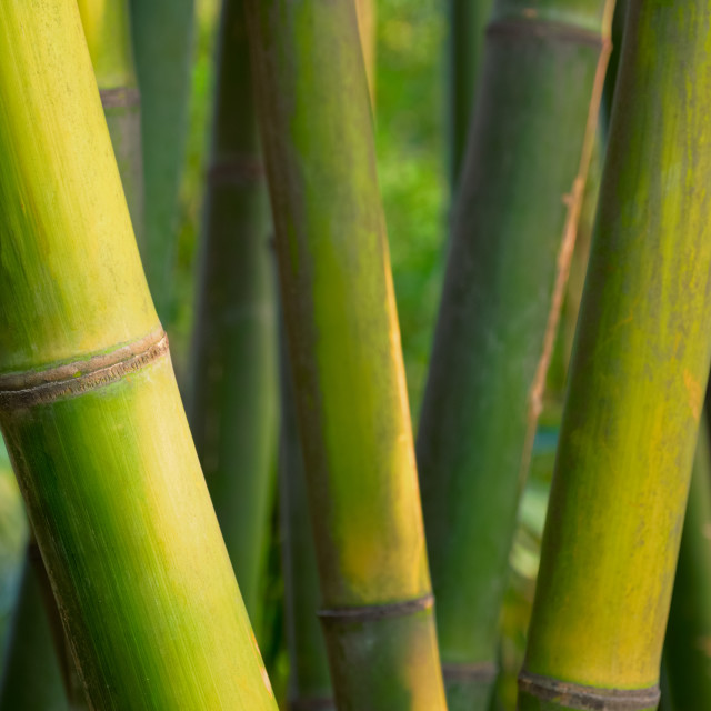 """""""Bamboo close up in bamboo grove"""" stock image"""