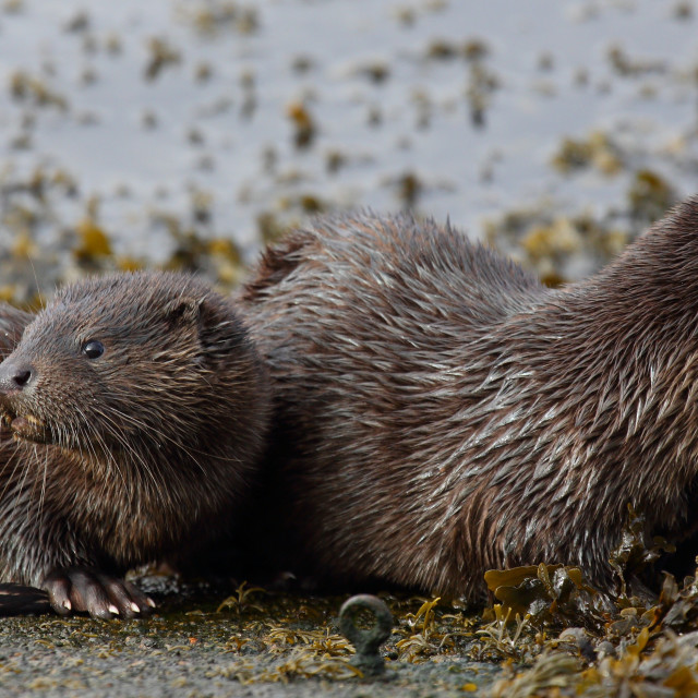 """""""Young Otter with mother."""" stock image"""