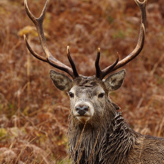 """""""Portrait of a Red Deer Stag."""" stock image"""