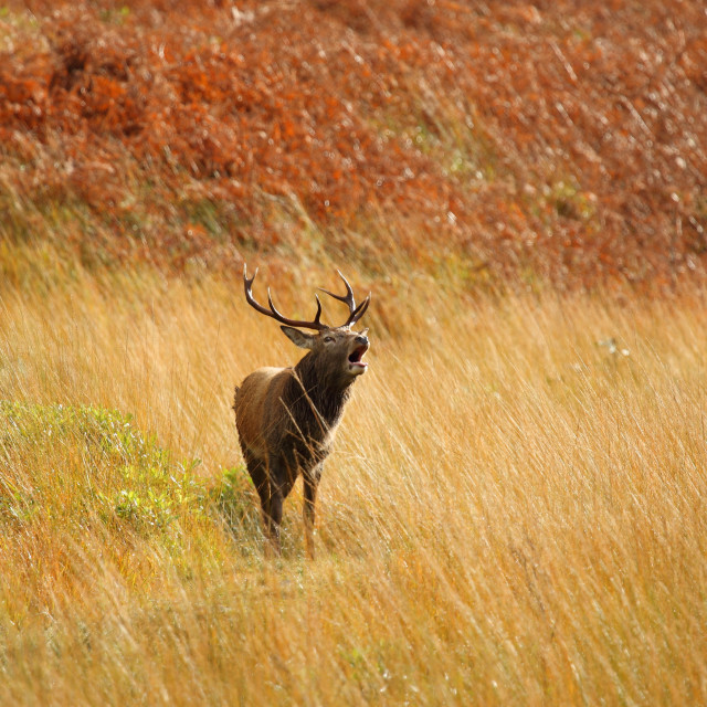 """""""Wild Red Deer Stag in Autumn."""" stock image"""