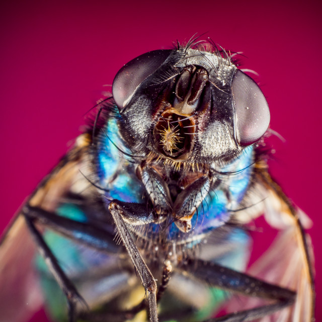 """A Green bottle house fly"" stock image"
