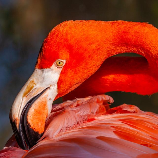 """Caribbean Flamingo showing flexible neck"" stock image"