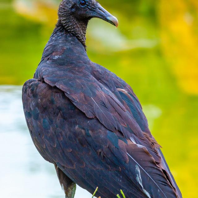 """""""Black Vulture looking back over his shoulder"""" stock image"""
