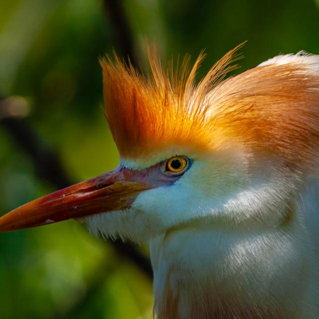 """""""Spot lit Cattle Egret"""" stock image"""